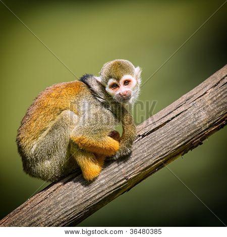 Um pequeno macaco sentado em um galho de árvore