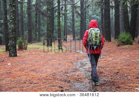 Hiking in rain. Hiker walking on pine forest path on rainy day wearing raincoat