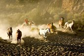 picture of buckaroo  - Cowboy rounding up a herd of wild horses kicking up a a lot of dust - JPG