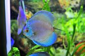 picture of diskus  - south american discus fish - JPG