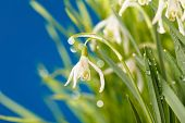 picture of snowbell  - Snowdrop flowers - JPG