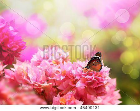 Majestic Monarch Butterfly On Beautiful Pink Bougainvillea Flowers