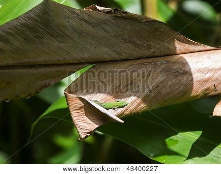 Sunbathing Gecko