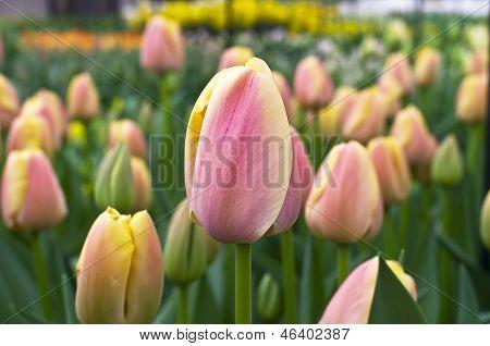 Tulipán rojo y amarillo.