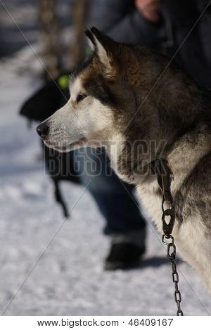 Husky von der Seite im Schnee