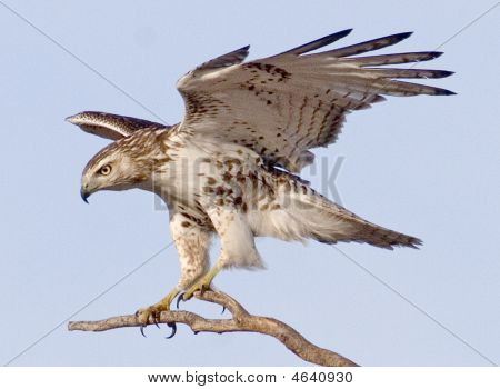 Northern harrier landing