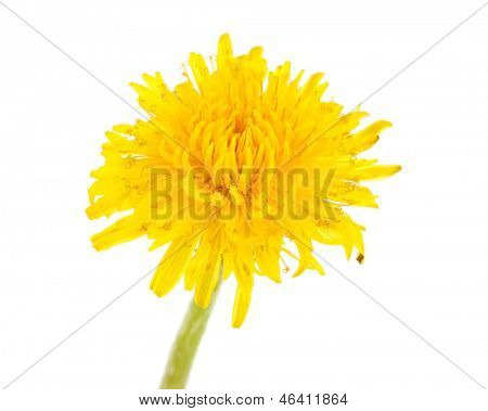 Dandelion flower isolated on white