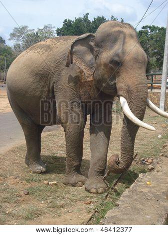 Sri Lankan Tusker
