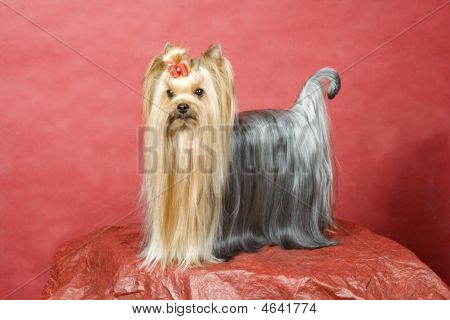 Yorkshire Terriers On Red Background