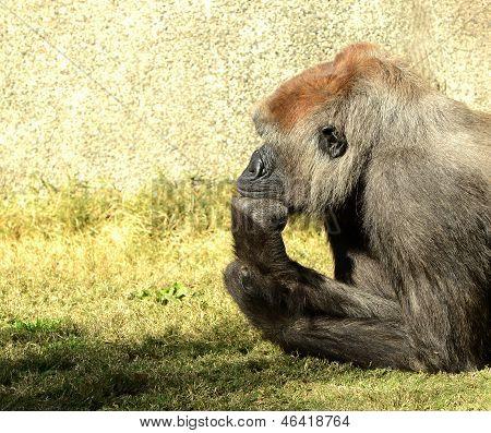 A Thinking Mans Gorilla