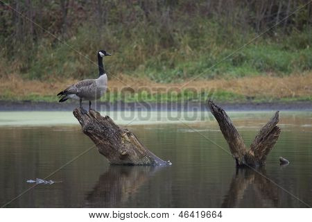 Canada Goose Perch On Stump