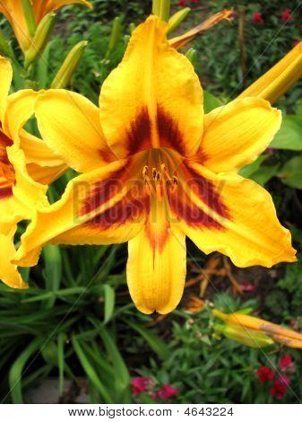 Yellow Lilia
