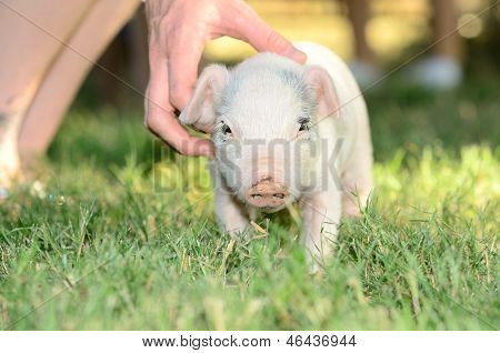 Porco Weiner