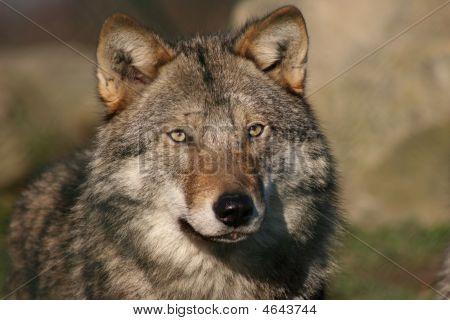 Mujer lobo gris