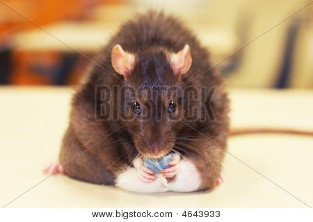Fat Rat Eating Snack
