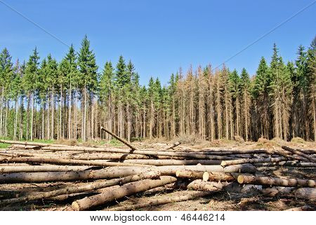 Harvesting Timber In The Young Coniferous Forest.