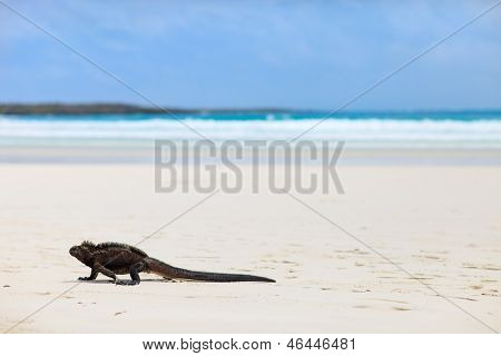 Marine iguana on Tortuga bay beach at Galapagos island of Santa Cruz
