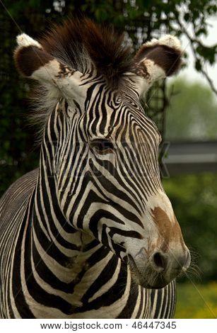 Close-up of a Grevy's Zebra