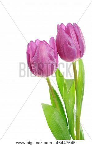 Tulip flowers on the white
