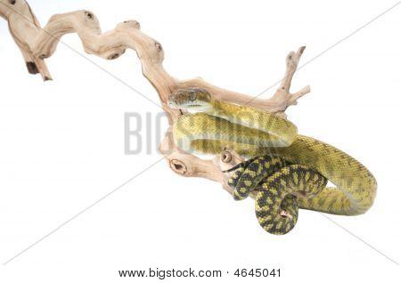 Molluan Amethystine Python