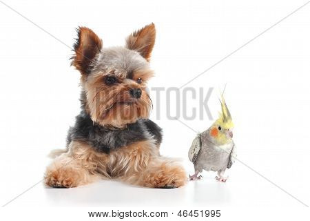Pets Yorkshire Terrier Puppy And Cockatiel Bird Posing Together