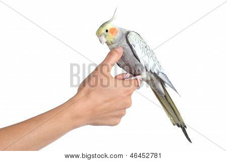 Woman Hand Holding And Caressing With Thumb A Cockatiel Bird