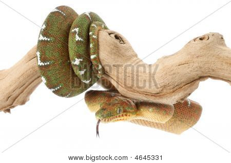 Emerald Tree Boa (female)