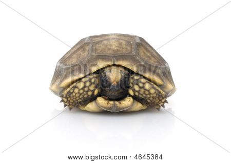 Yellowfoot Tortoise