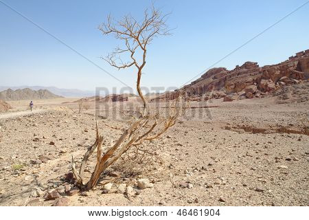 Dry acacia tree in the desert
