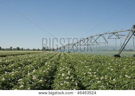 Potato Irrigation