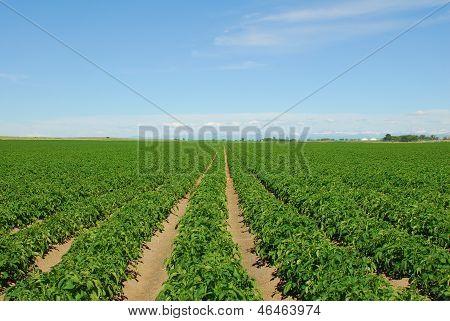 Idaho Potato Rows