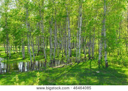 Spring Aspen Grove