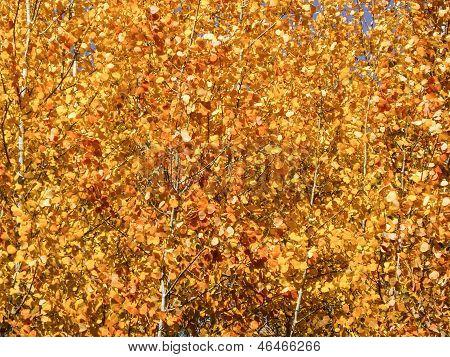 Colorado Golden Aspen