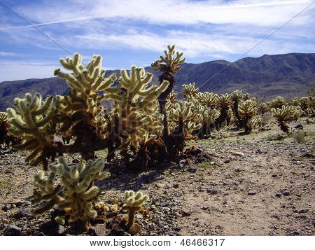 Cholla Forest