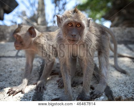 Pair Of Young Monkeys - Crab-eating Macaque, Bali.