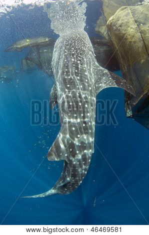 Whale Shark Feeding With Sun Rays