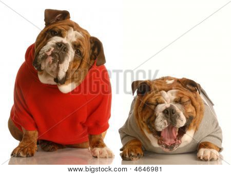 Bulldog In Red Sweater With Another Laughing