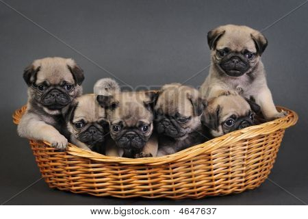 Six Pug Puppies.