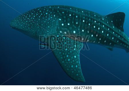 Whale Shark Fin With Remora