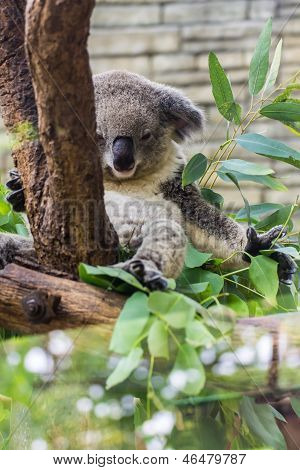 Koala In Tree, Chiangmai Zoo, thailand