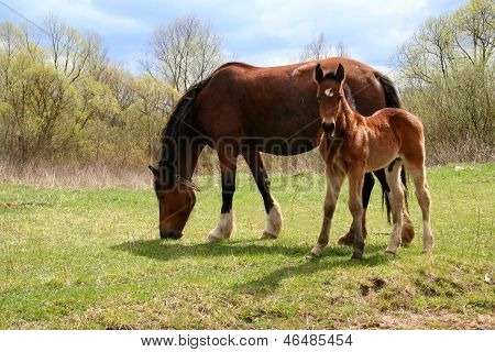 Horse And Colt On Green Meadow