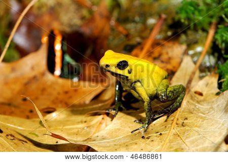 Colorful Yellow Frog Fillobates Terribilis