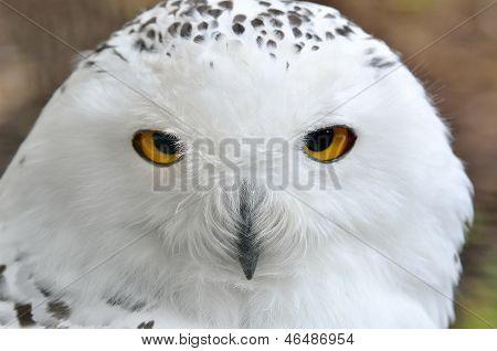 White Polar Owl Sitting On A Stick In The Zoo