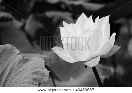 White Lotus In Basin 1_1