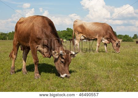 Cows Walk Through A Meadow And Eat Grass