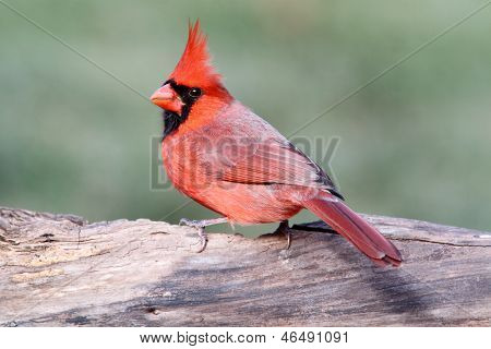 Male Cardinal On A Log
