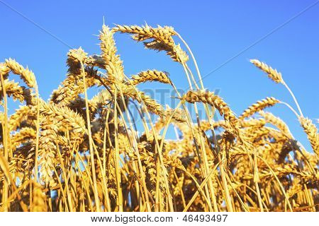 Ripe Wheat Ears On Blue Sky Background