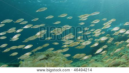Shoal of Fish Fry underwater in ocean