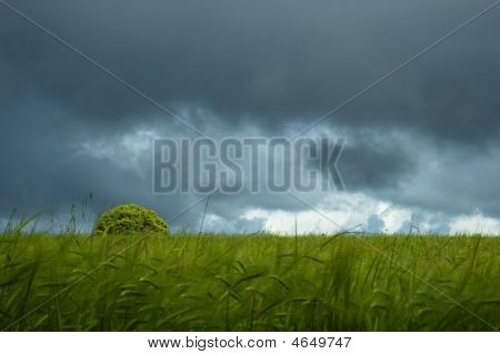 Green Wheat Field And Tree