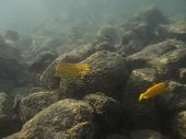 stock photo of sedimentation  - two Yellow tang surgeonfish swimming in sediment water - JPG